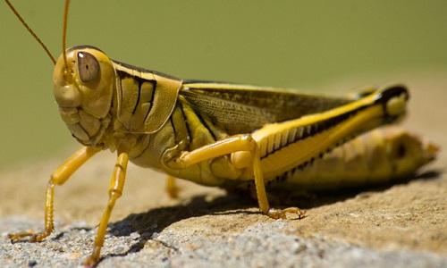 Locust140